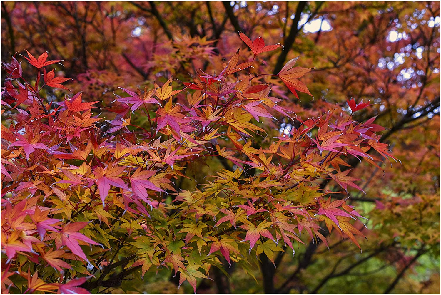 Amazon Com 8 Seeds Red Japanese Maple Acer Palmatum
