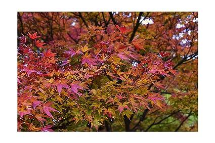 Amazoncom 8 Seeds Red Japanese Maple Acer Palmatum Atropurpureum