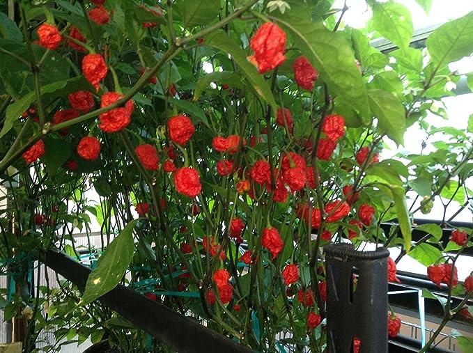 100 PCS Seeds Red Carolina Reaper Chilli Pepper Plants Bonsai Garden Vegetables