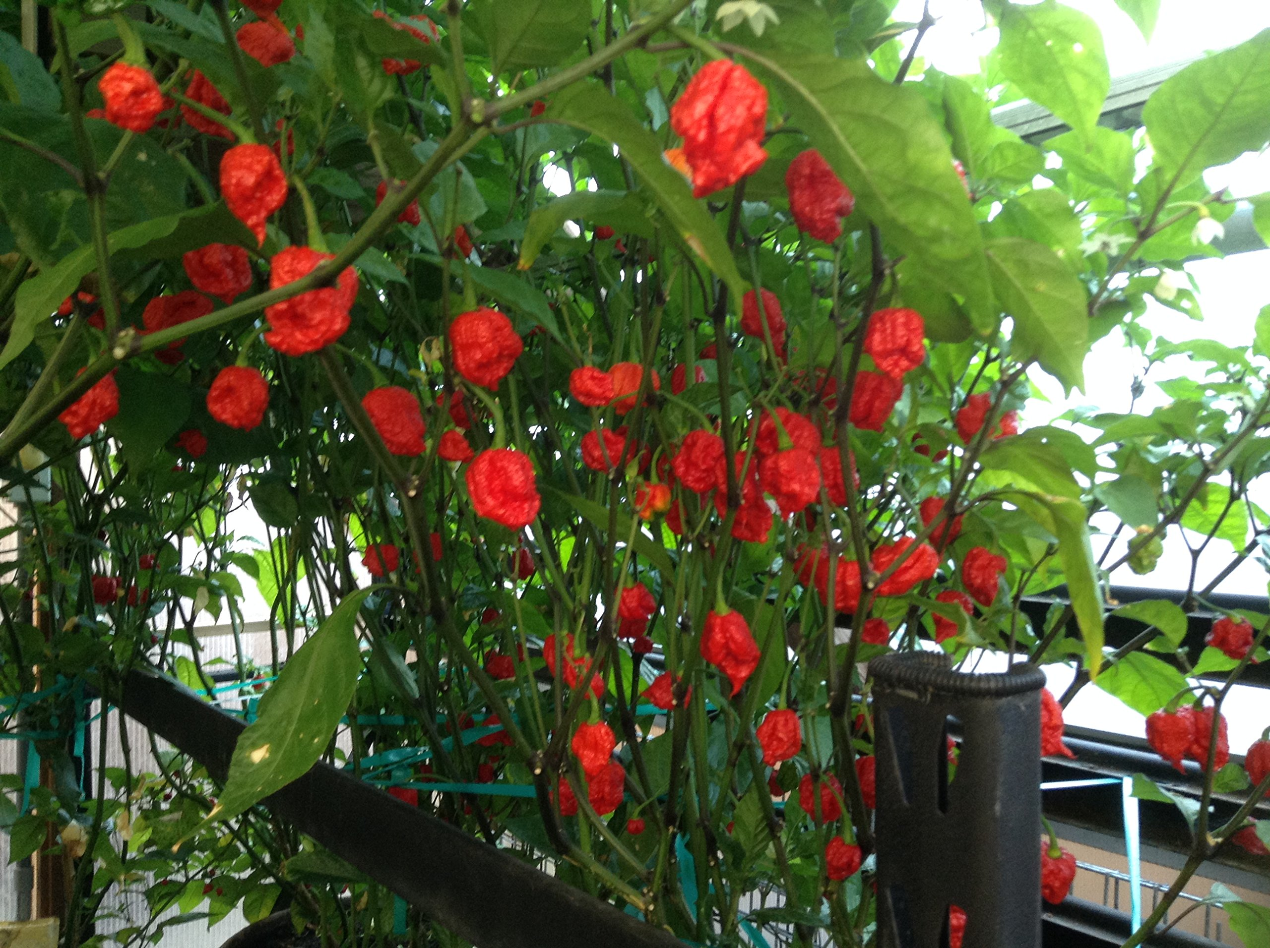 Hottest Pepper Plants (3 Plants) red Carolina Reapers by Non-Branded