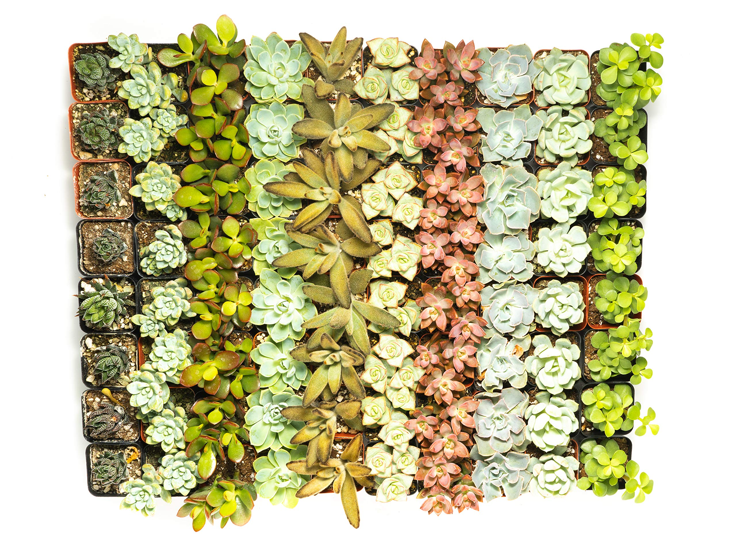 Succulent Assorted Pack- Perfect for Weddings, Party Favors, Home Gardens, and Social Events by Jiimz (100 Pack)