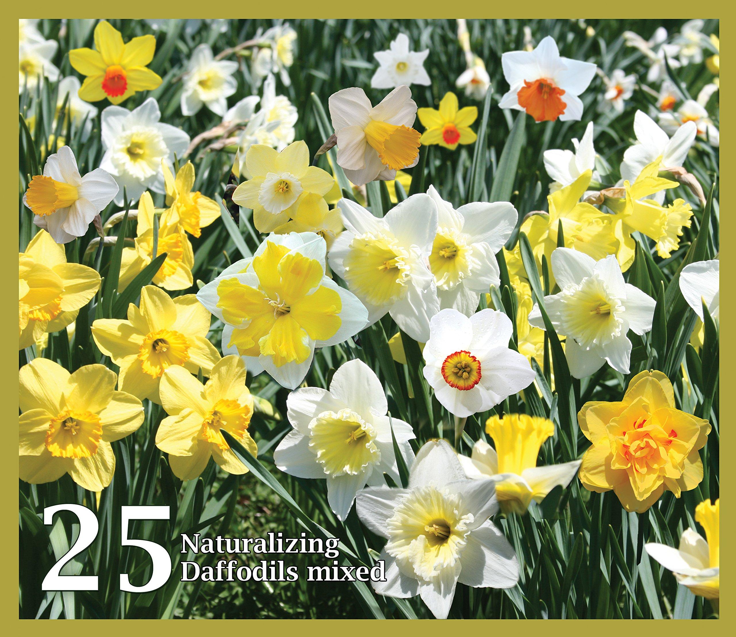 Mixed Daffodils (25 Bulbs) - Assorted Colors Daffodil Narcissus Bulbs by Willard & May by Willard & May