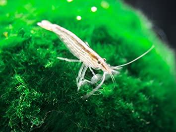 Aquatic Arts 1 Small Freshwater Bamboo Shrimp (Live Singapore Flower  Shrimp) | Aquarium Filter