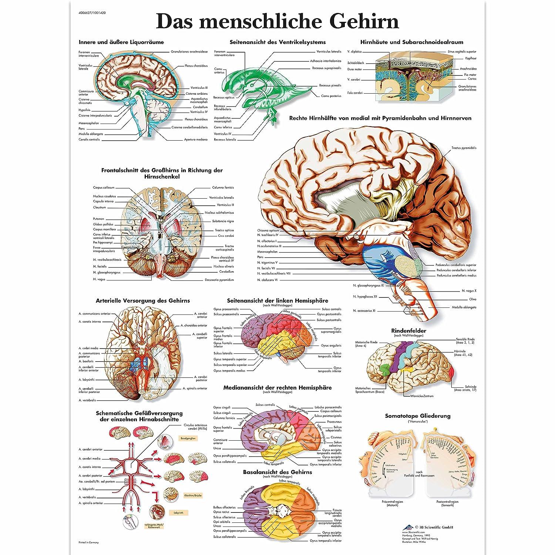 3B Scientific Lehrtafel laminiert - Das menschliche Gehirn: Amazon ...