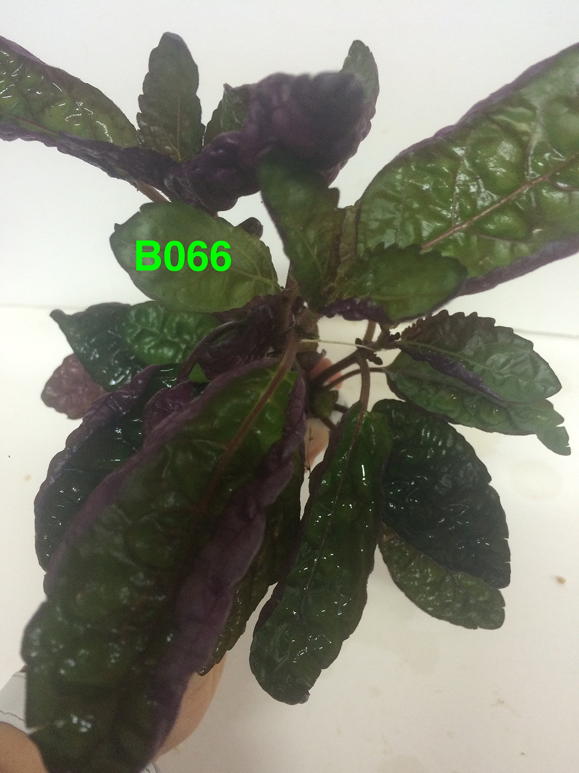 Exotic Live Aquatic Plant for Fresh Water Hemigraphis colorata Bundle B066 By Jyco **Buy 2 GET 1 Free by Jayco (Image #3)