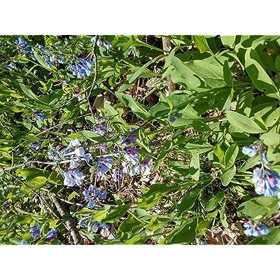 AchmadAnam - Live - 24 Southern Illinois BlueBells .Organic Grown Flowers : Garden & Outdoor