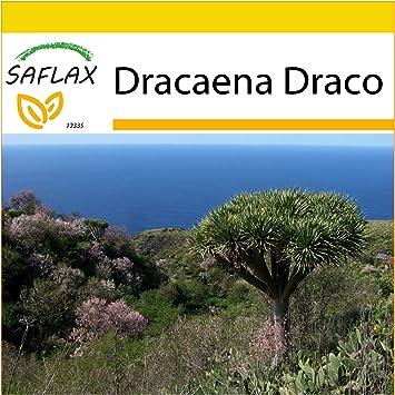der Drache Baum Dracaena Draco 10 Samen