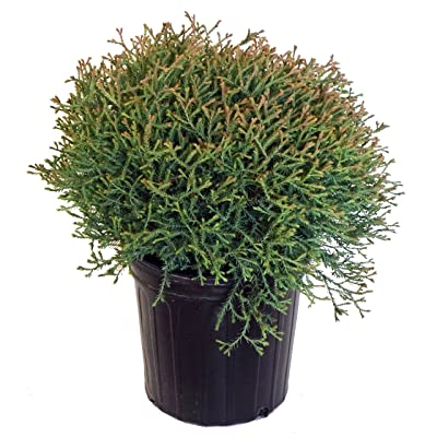 Thuja Mr. Bowling Ball (Arborvitae) Evergreen, #2 - Size Container : Garden & Outdoor