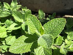 Apple Mint Mentha suaveolens - 50 Seeds