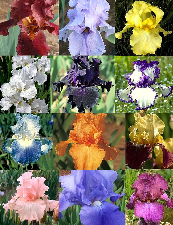 Amazon Reblooming Iris Collection Succulent Plants Garden