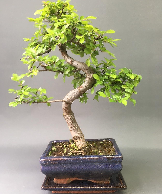 Bonsai Elm parvifolia S Style 7 yr - 1 tree By Bonsai2u Zacs Bonsai LTD