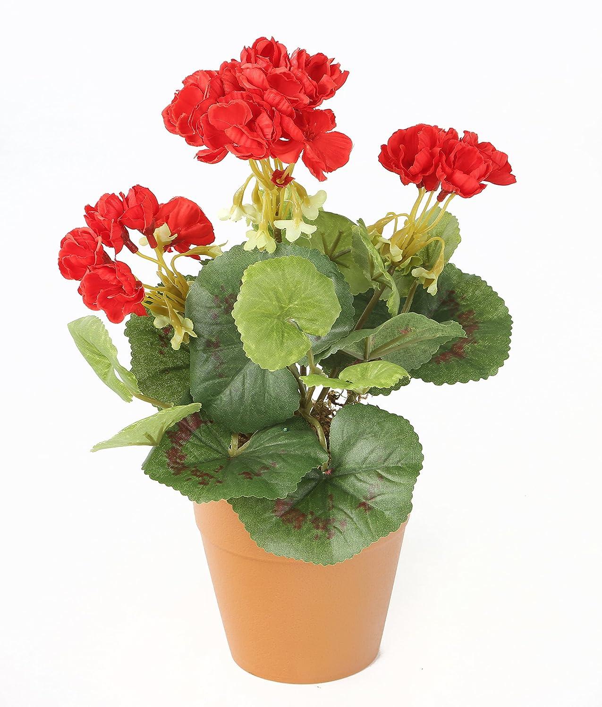 Picture of Live Geraniums Zonal Red aka Pelargonium hortorum Plant Fit 1QRT Pot