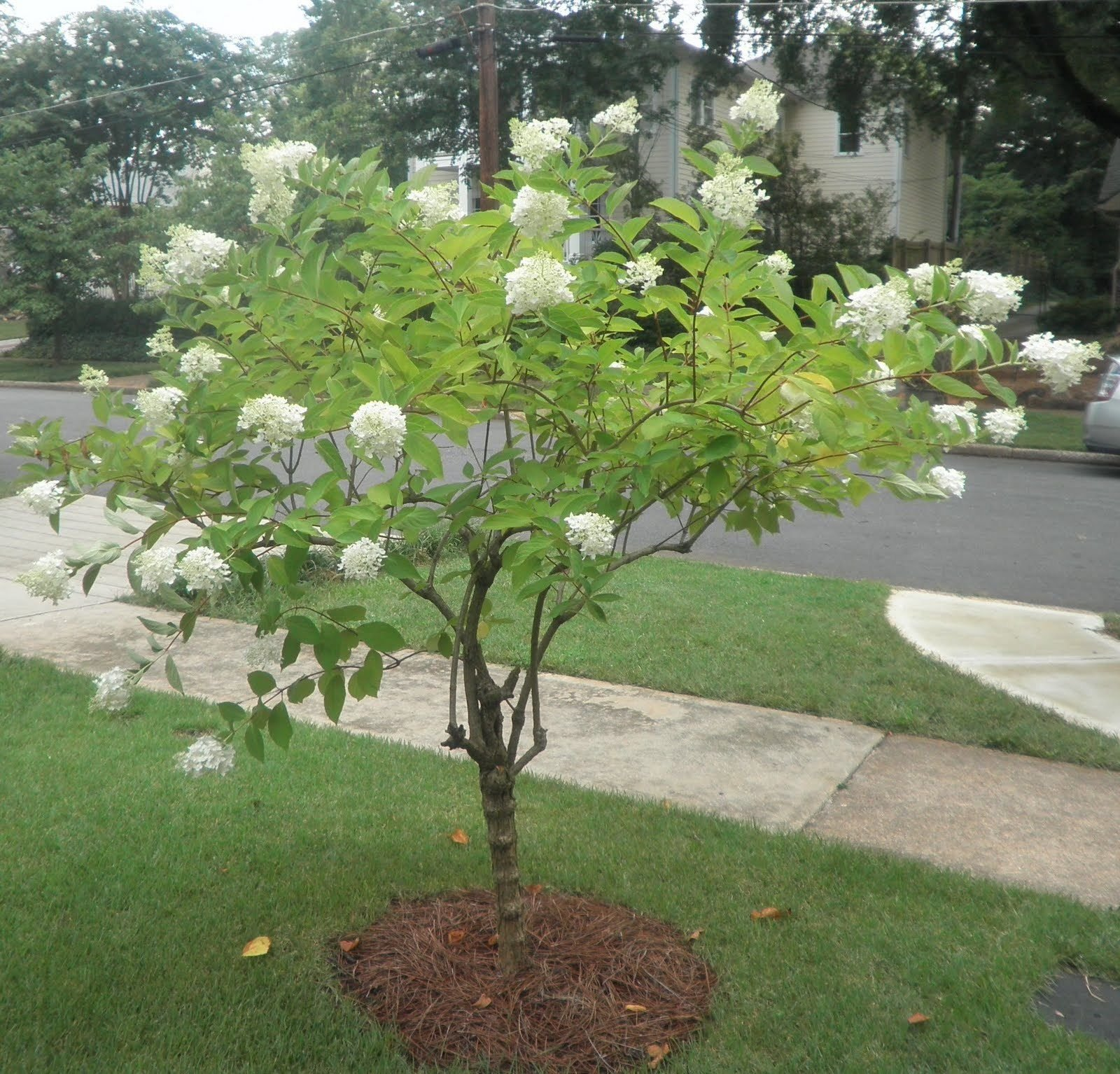 Pee Gee Hydrangea Healthy Shrub 1 Plant in 1 Gallon Fast Growing #GS04 by Gseeds