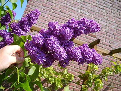 amazon com 5 french lilac bush seeds showy 1146