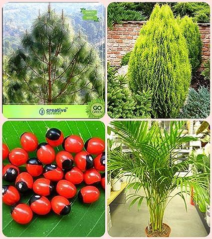 Creative Farmer Tree Seeds Home Depot Pinus Roxburghaiithuja