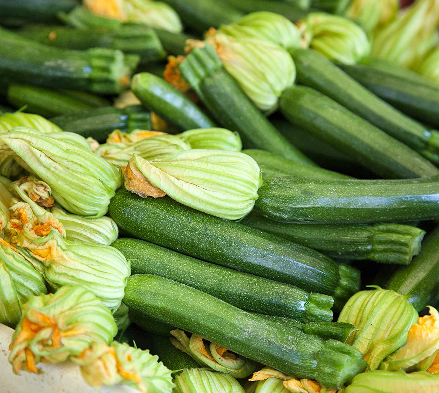 Squash Seed Spineless Beauty Zucchini Seeds Fresh Seed  FREE Shipping
