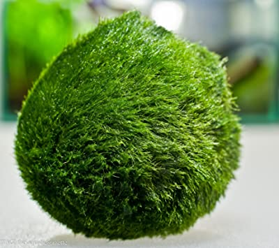 Aquarium Plants Discounts Marimo Moss Ball Imported from Europe