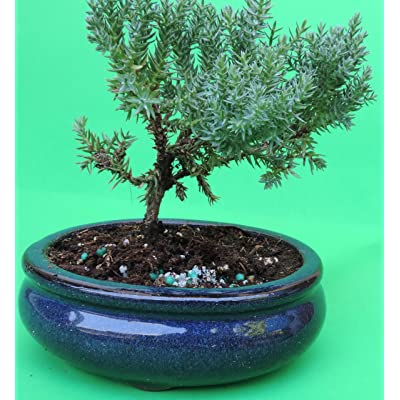Fertilized Juniper Tree Bonsai sold by JM Bamboo: Garden & Outdoor