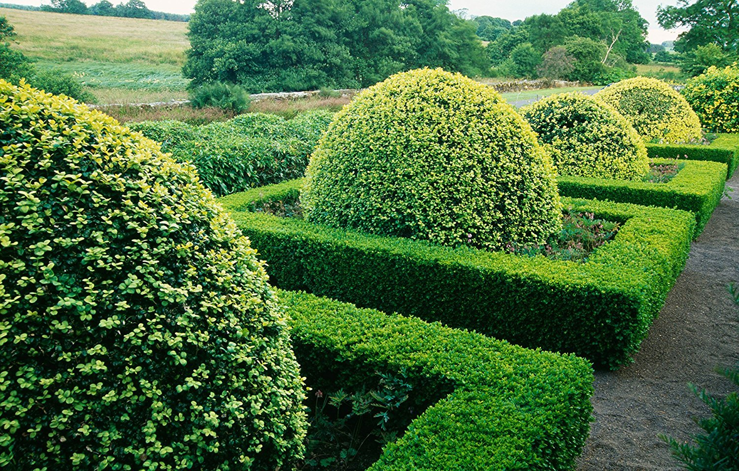 Japanese Boxwood Qty 15 Live Plants Buxus Fast Growing Cold Hardy Evergreen Shrub by Florida Foliage (Image #5)