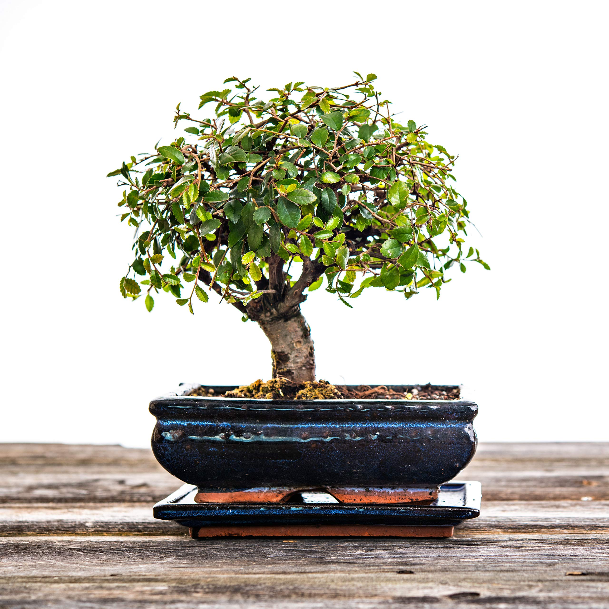 Chinese Elm Bonsai Tree 5 6 Years Old 20 25cm Trees Buy Online In India At Desertcart In Productid 81480302