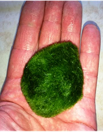 Bola de musgo Marimo para acuario, cladophora, de 3 a 5cm