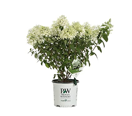 Bobo Hardy Hydrangea (Paniculata) Live Shrub, White to Pink Flowers, 1  Gallon