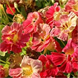 Package of 110 Seeds, Cherry Rose Nasturtium (Tropaeolum minus) Non-GMO Seeds by Seed Needs