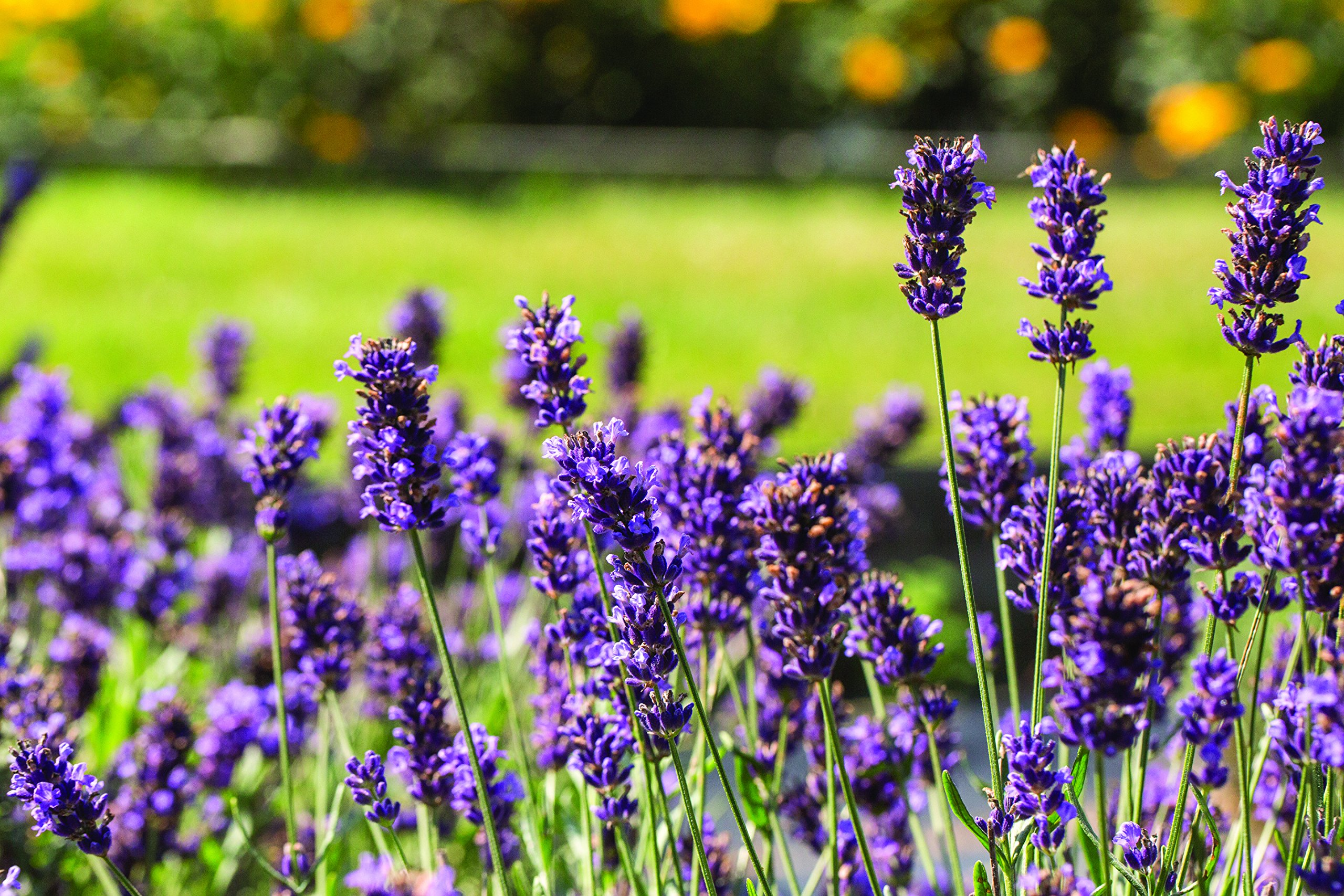 Burpee Lavender 'Superblue' Fragrant Flowers and Foliage, Four 4'' pots by Burpee (Image #4)