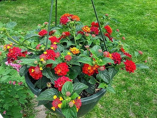BloomGreen Co. jardín de flores Semillas Lantana plantas colgantes Semillas Semillas Semillas Flor Variedad de cocina Jardín Semillas Paquete: Amazon.es: Jardín