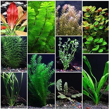 amazon com 10 species live aquarium plants package anacharis