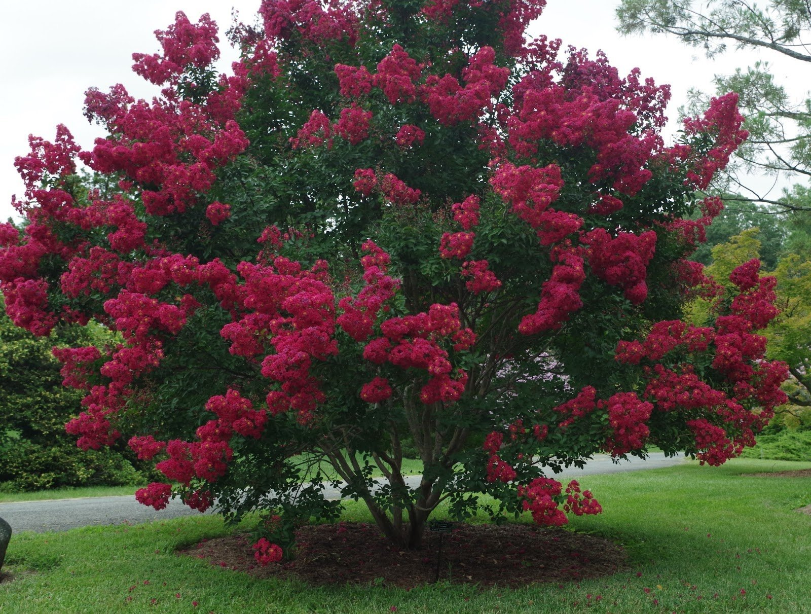 CENTENNIAL SPIRIT Crape Myrtle, Pack of 5, Bright Red, Matures 14'-16' (2-4ft Tall When Shipped, Well Rooted with Pot in Soil)