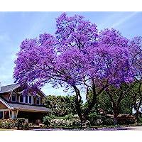 11.11 Venta grande! 50 / bolsa de semillas de rápido crecimiento Paulownia púrpura semillas de árboles raros para la…
