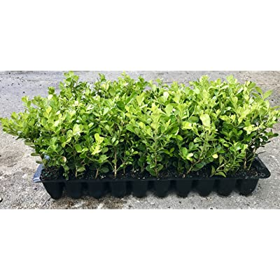 Japanese Boxwood Qty 30 Live Plants Buxus Fast Growing Cold Hardy Evergreen : Garden & Outdoor