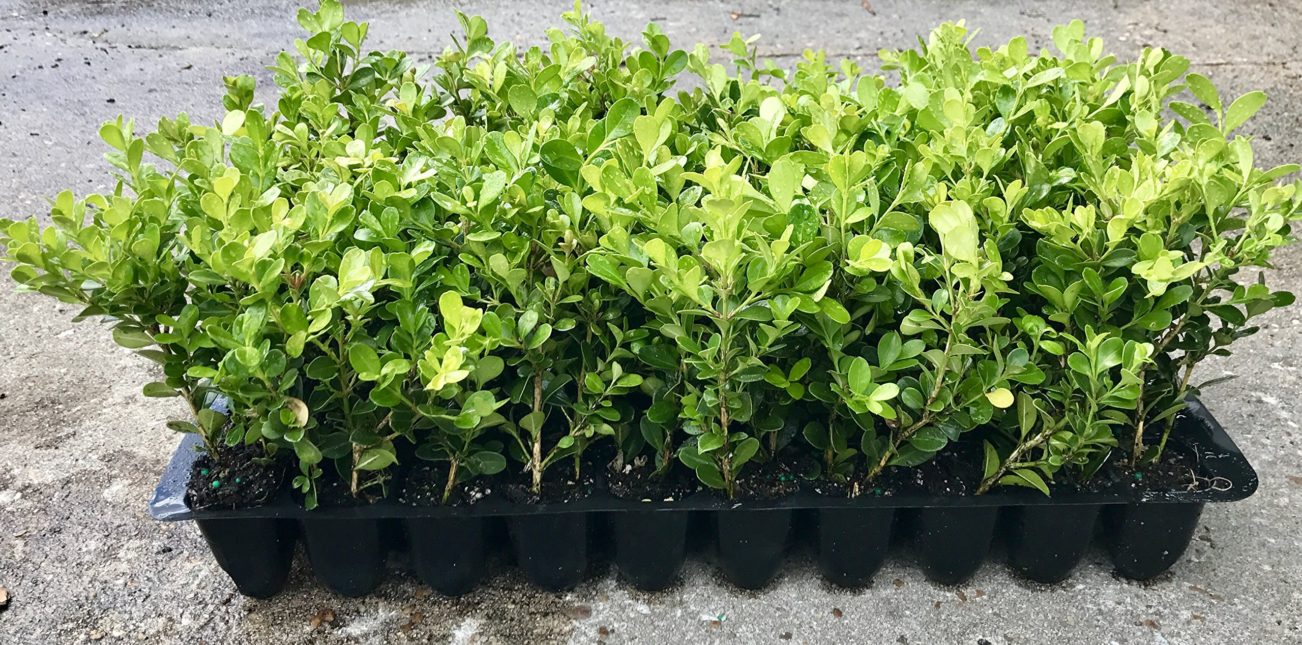 Japanese Boxwood Qty 60 Live Plants Buxus Fast Growing Cold Hardy Evergreen by Japanese Boxwood