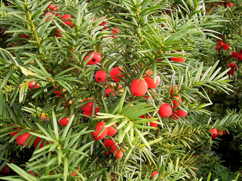 Resultado de imagen de Taxus baccata