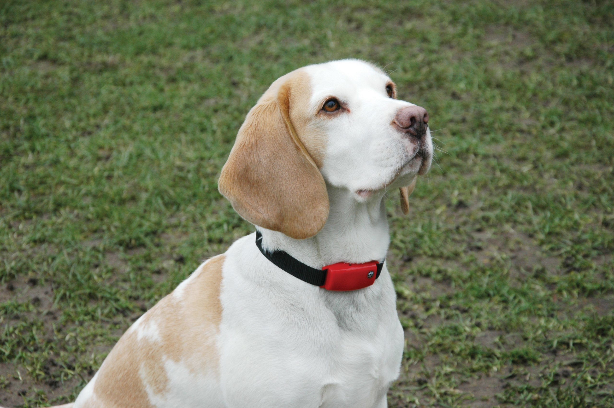 Pet Tag Classic No Bark Collar, Red, Small. by PetTag (Image #3)