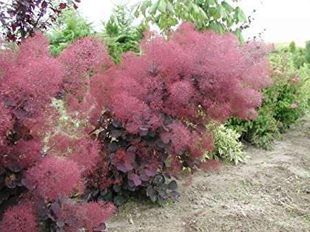 Amazon.com: Royal Purple Humo Bush – Cotinus – Flowering ...