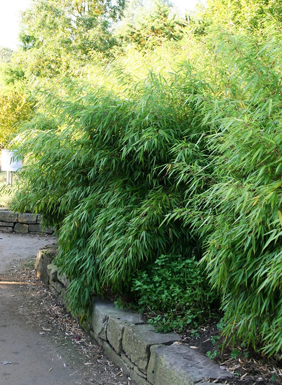 Bambus Fargesia rufa winterhart horstig und schnell wachsend