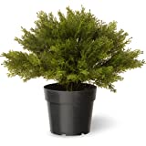National Tree Juniper Bush with Dark Green Round Plastic Pot, 15-Inch