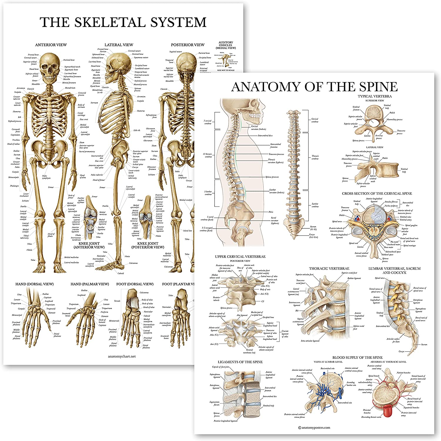 "2 Pack: Skeletal System Anatomy + Anatomy of the Spine Poster Set - Set of 2 Anatomical Charts - Laminated - 18"" x 27"""
