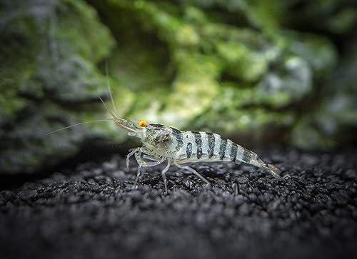Aquatic Arts 5 Zebra Babaulti shrimp