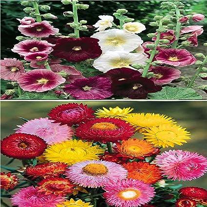 Vasuworld Beautiful Combo 2 Types Winter Season Flower Plant