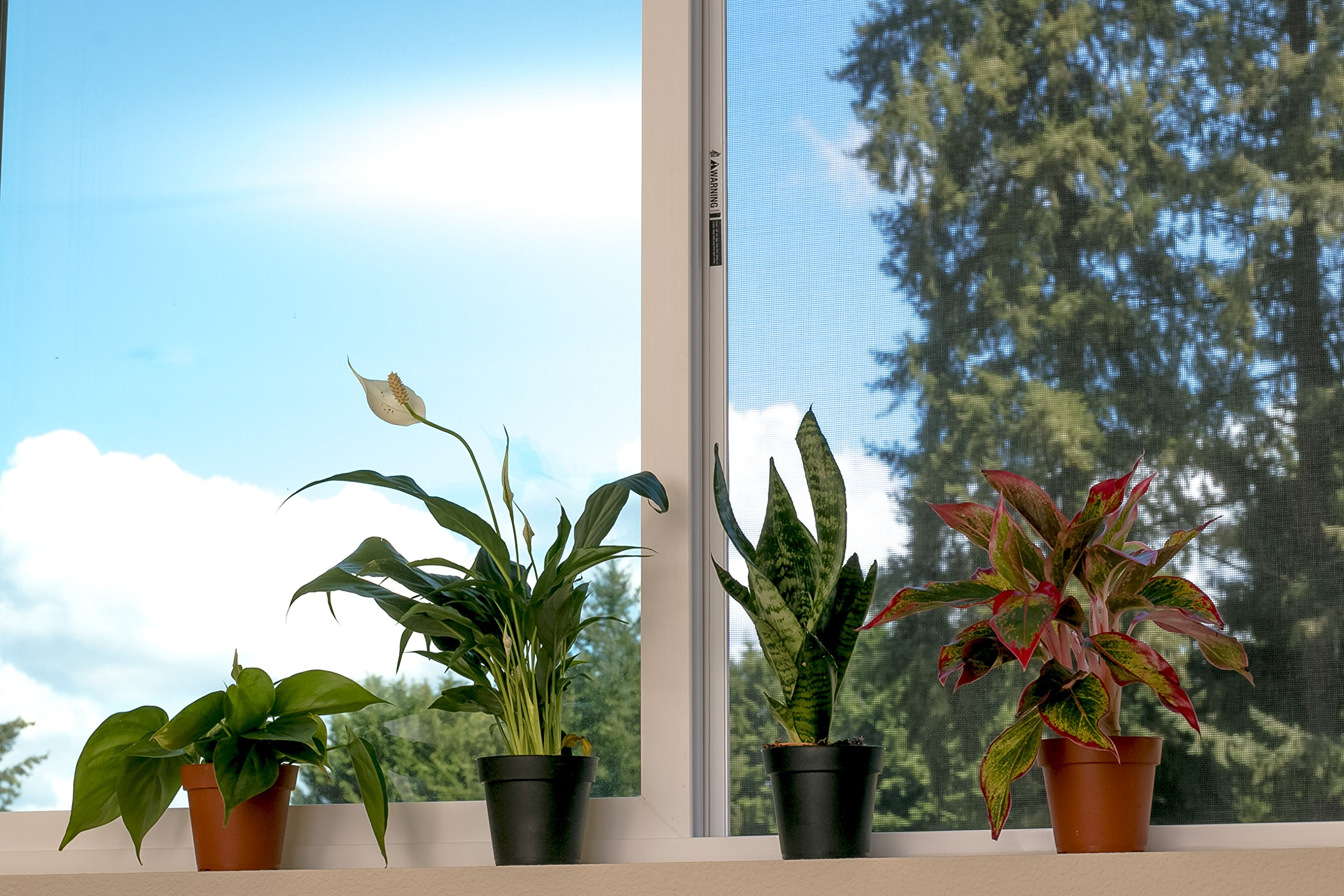 Set of 4 Indoor Plants - Live Potted Plants for Your Home or Office - Includes Red Aglaonema, Snake Plant, Philodendron, and Peace Lily - Great for Interior Decorating and Cleaning the Air by BDWS (Image #6)