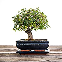 Bonsai Tree - 5-6 Years Old - 20-25cm Trees - Indoor House Plant