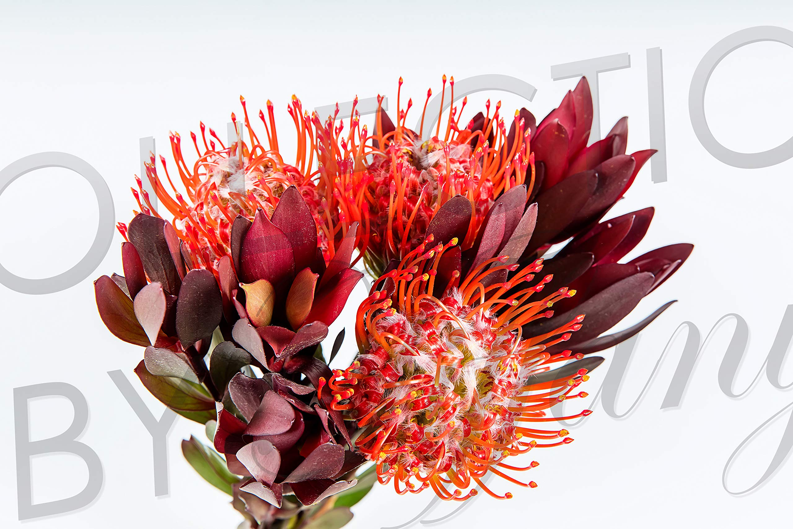 Fresh Protea Bouquet for Garland, Floral Arrangement, Birthday, Anniversary & Funeral Long Lasting, Decoration for Wedding, Event, Everyday, Occasion Gift. by Collection by Tiffany
