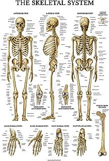 91rqup5eLTL._AC_UL320_SR212320_ amazon com the nervous system anatomical chart anatomical chart