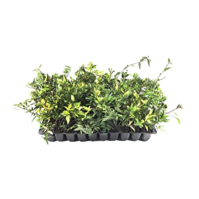 Carolina Jasmine - 3 Live Plants - Gelsemium Sempervirens Jessamine - Beautiful Fragrant Blooming Vine : Garden & Outdoor