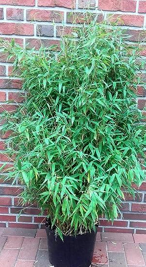 Bambus Hohe 160 170 Cm Winterhart Immergrun Fargesia Jumbo