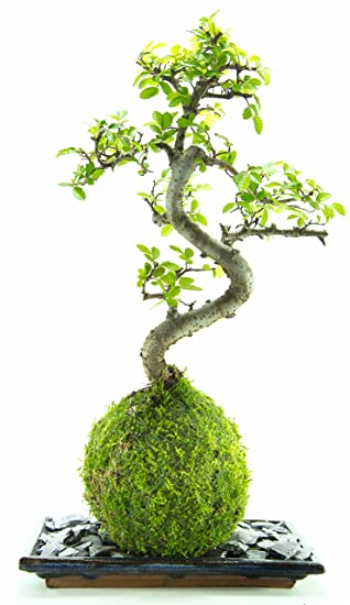 Bonsai tree - LIVE 8 year old Chinese elm, indoor house plant with ...