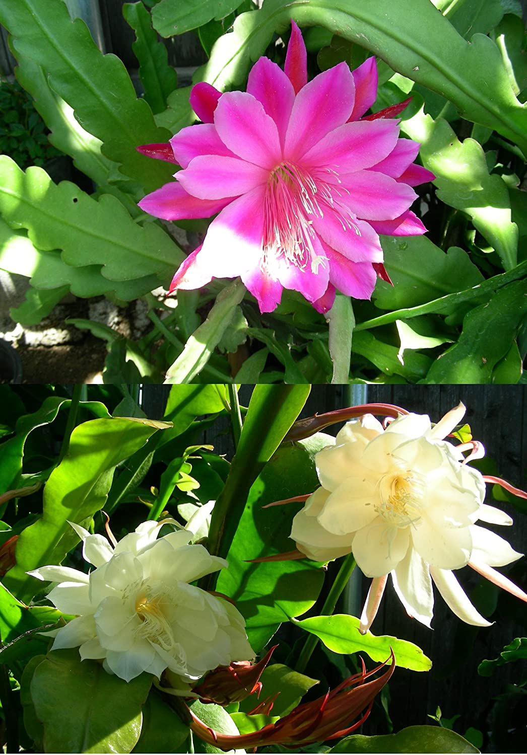 Amazon 2 cuttings orchid cactus epiphyllum oxypetalum one amazon 2 cuttings orchid cactus epiphyllum oxypetalum one pink and one white succulent plants garden outdoor mightylinksfo Images